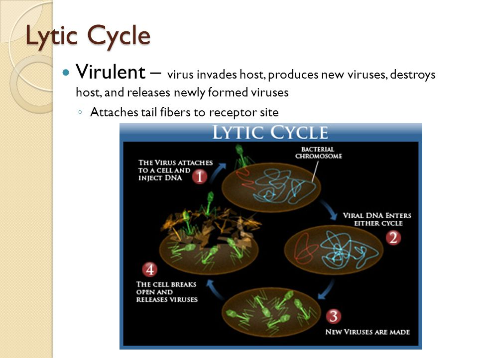 Lytic Cycle Virulent – virus invades host, produces new viruses, destroys host, and releases newly formed viruses ◦ Attaches tail fibers to receptor s