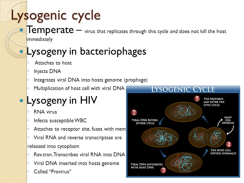 Lysogenic cycle Temperate – virus that replicates through this cycle and does not kill the host immediately Lysogeny in bacteriophages ◦ Attaches to h