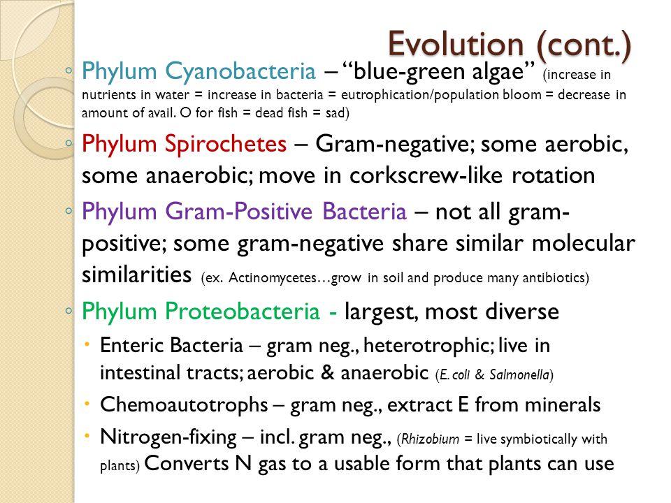 "Evolution (cont.) ◦ Phylum Cyanobacteria – ""blue-green algae"" (increase in nutrients in water = increase in bacteria = eutrophication/population bloom"