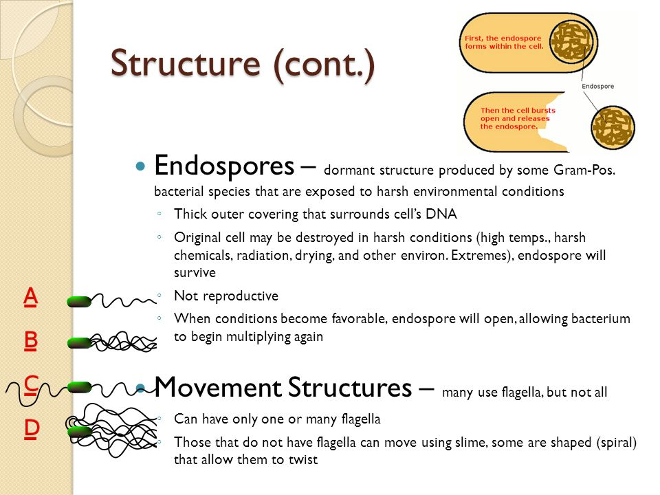 Structure (cont.) Endospores – dormant structure produced by some Gram-Pos. bacterial species that are exposed to harsh environmental conditions ◦ Thi