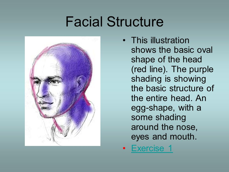Facial Structure This illustration shows the basic oval shape of the head (red line). The purple shading is showing the basic structure of the entire