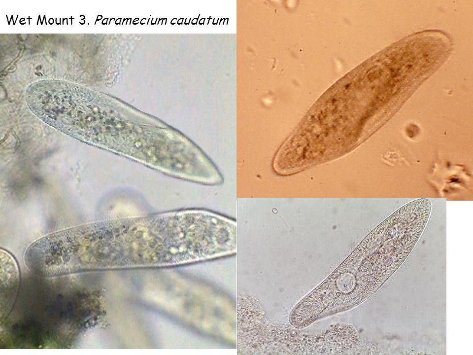 Wet Mount 3. Paramecium caudatum