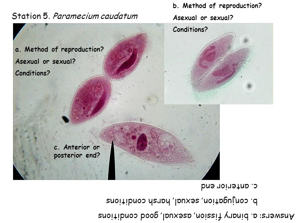 Station 5. Paramecium caudatum a. Method of reproduction.