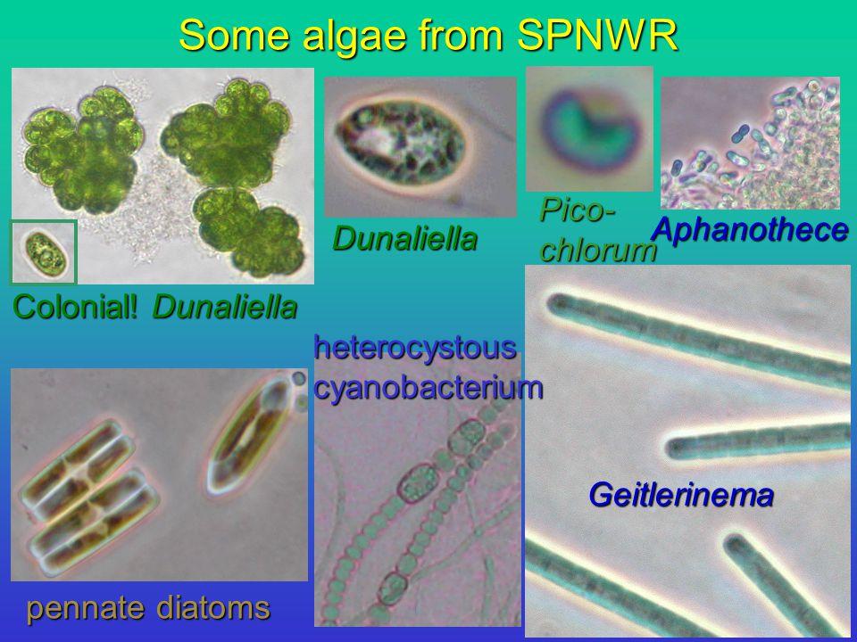Some algae from SPNWR Geitlerinema Aphanothece Dunaliella Colonial.