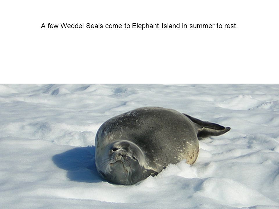 A few Weddel Seals come to Elephant Island in summer to rest.