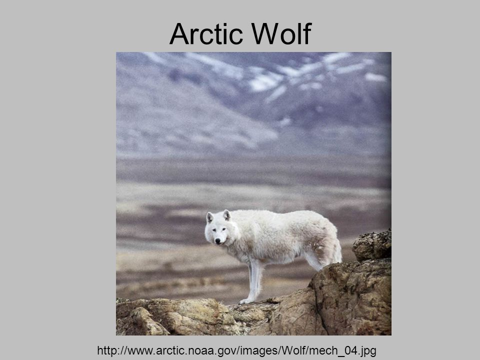 Arctic Wolf http://www.arctic.noaa.gov/images/Wolf/mech_04.jpg