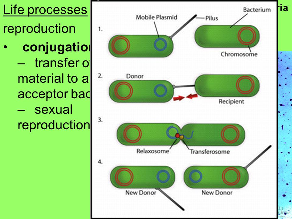 Life processes reproduction conjugation –transfer of genetic material to an acceptor bacterium –sexual reproduction Bacteria