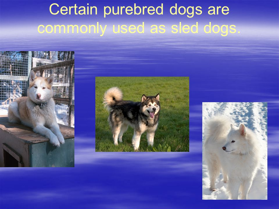 Certain purebred dogs are commonly used as sled dogs.