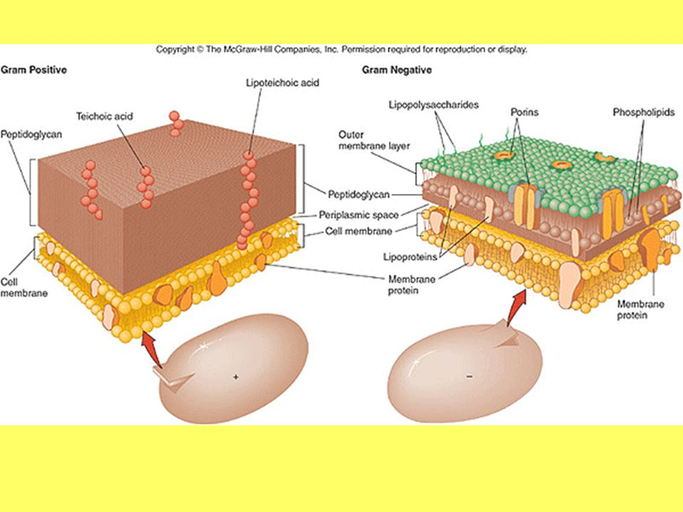 3.Describe three ways that bacteria can obtain energy.