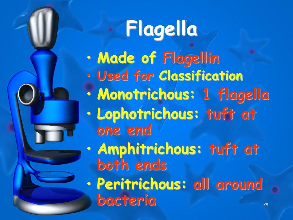 29 Flagella Made of FlagellinMade of Flagellin Used for ClassificationUsed for Classification Monotrichous: 1 flagellaMonotrichous: 1 flagella Lophotrichous: tuft at one endLophotrichous: tuft at one end Amphitrichous: tuft at both endsAmphitrichous: tuft at both ends Peritrichous: all around bacteriaPeritrichous: all around bacteria