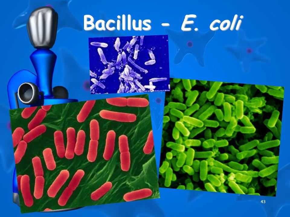 43 Bacillus - E. coli