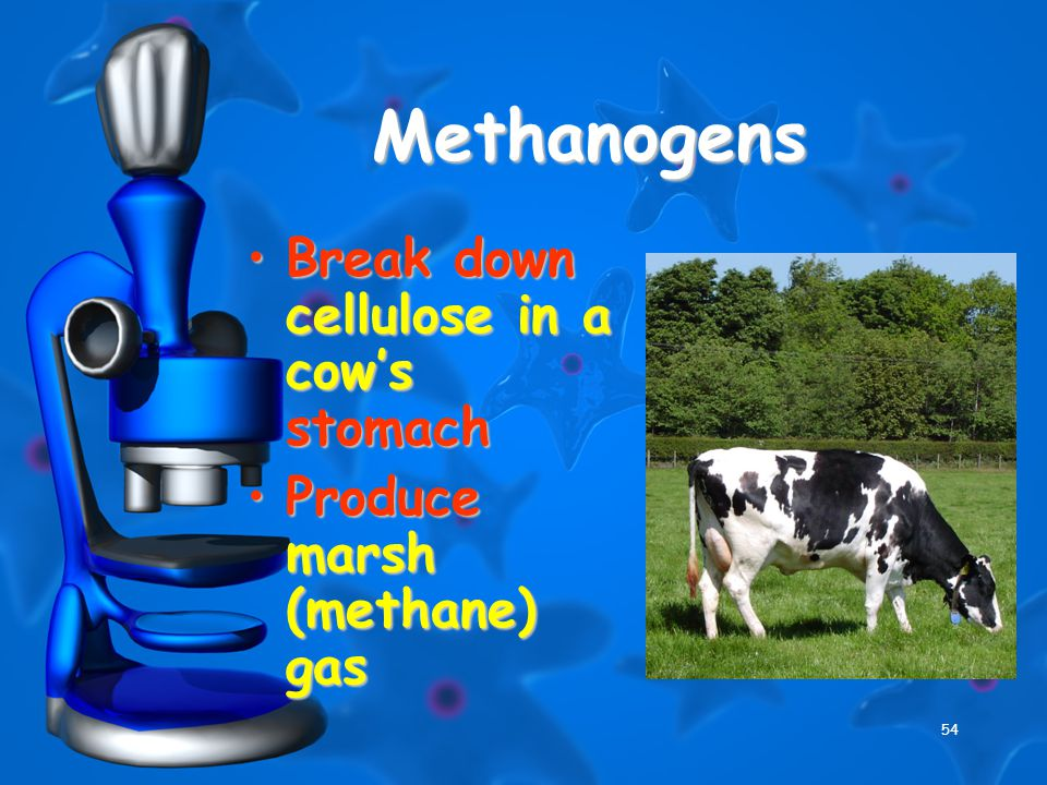54 Methanogens Break down cellulose in a cow's stomachBreak down cellulose in a cow's stomach Produce marsh (methane) gasProduce marsh (methane) gas