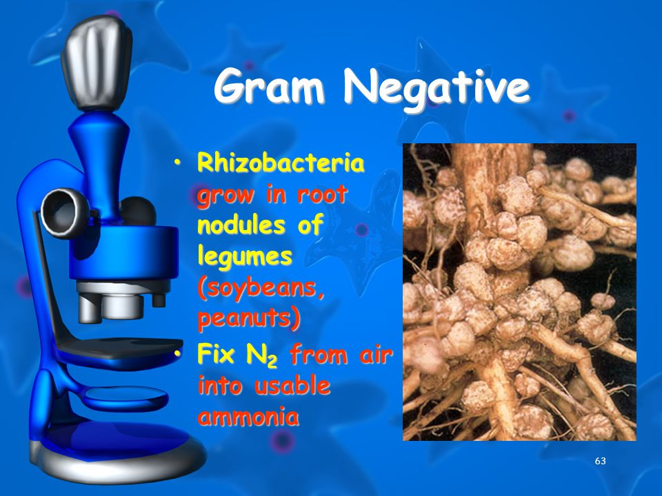 63 Gram Negative Rhizobacteria grow in root nodules of legumes (soybeans, peanuts)Rhizobacteria grow in root nodules of legumes (soybeans, peanuts) Fix N 2 from air into usable ammoniaFix N 2 from air into usable ammonia