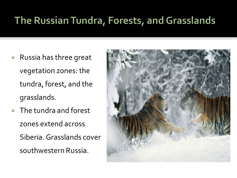  Russia has three great vegetation zones: the tundra, forest, and the grasslands.  The tundra and forest zones extend across Siberia. Grasslands cov