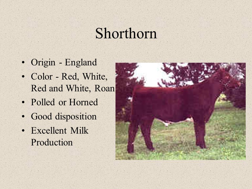 Shorthorn Origin - England Color - Red, White, Red and White, Roan Polled or Horned Good disposition Excellent Milk Production