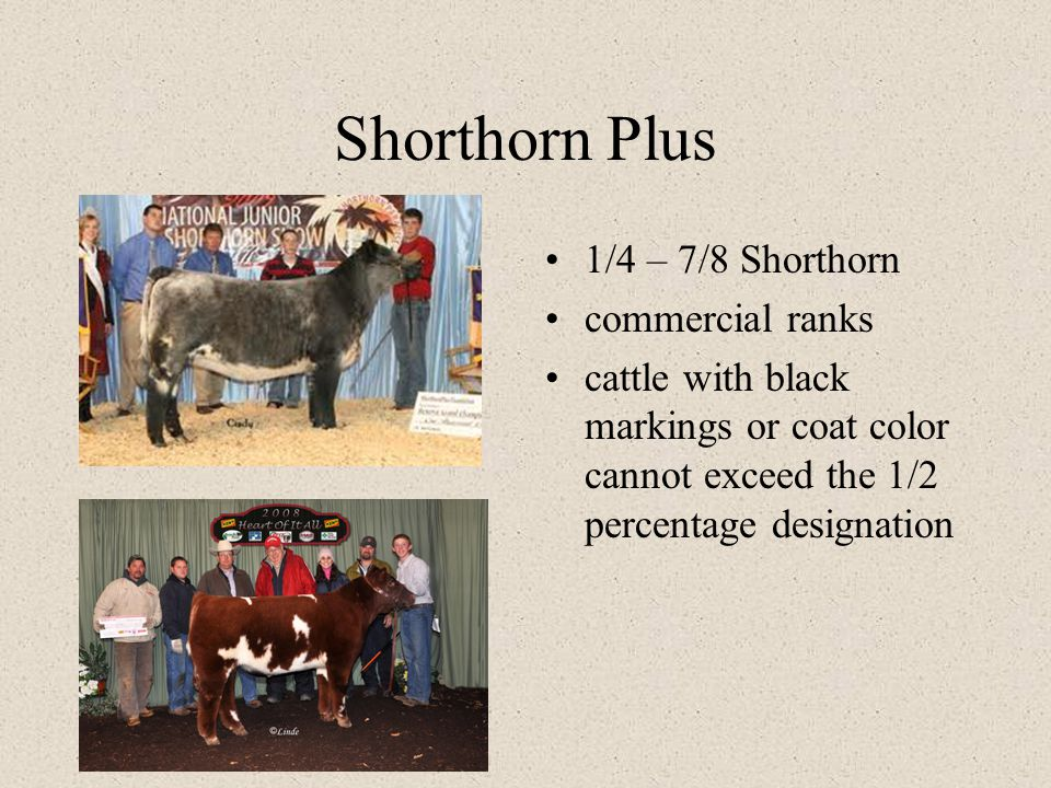Shorthorn Plus 1/4 – 7/8 Shorthorn commercial ranks cattle with black markings or coat color cannot exceed the 1/2 percentage designation