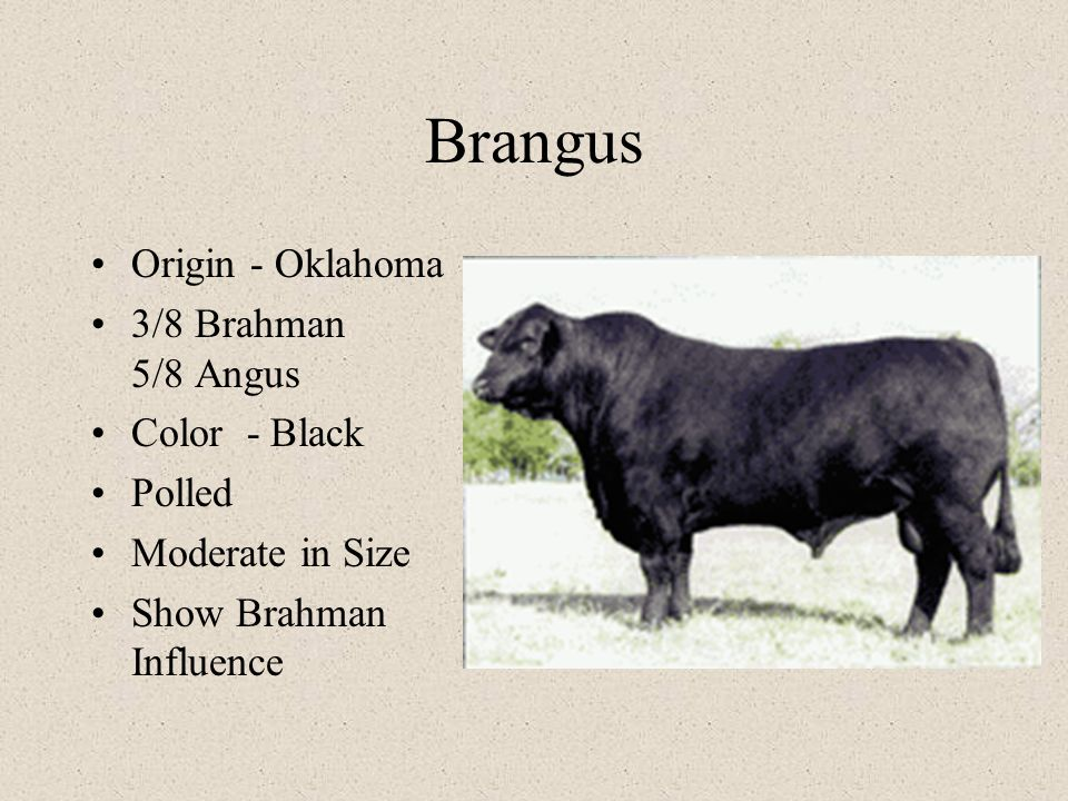 Brangus Origin - Oklahoma 3/8 Brahman 5/8 Angus Color - Black Polled Moderate in Size Show Brahman Influence