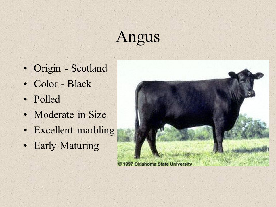 Angus Origin - Scotland Color - Black Polled Moderate in Size Excellent marbling Early Maturing