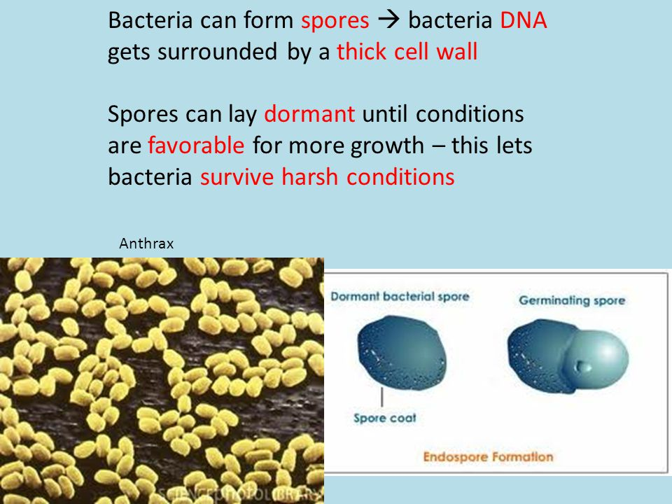 Bacteria can form spores  bacteria DNA gets surrounded by a thick cell wall Spores can lay dormant until conditions are favorable for more growth – t