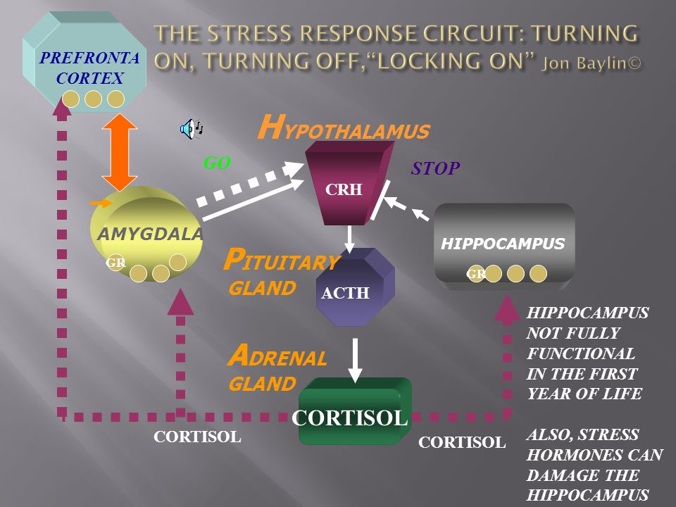 CRH CORTISOL AMYGDALA H YPOTHALAMUS P ITUITARY GLAND A DRENAL GLAND HIPPOCAMPUS CORTISOL ACTH HIPPOCAMPUS NOT FULLY FUNCTIONAL IN THE FIRST YEAR OF LIFE ALSO, STRESS HORMONES CAN DAMAGE THE HIPPOCAMPUS PREFRONTA CORTEX GO STOP GR
