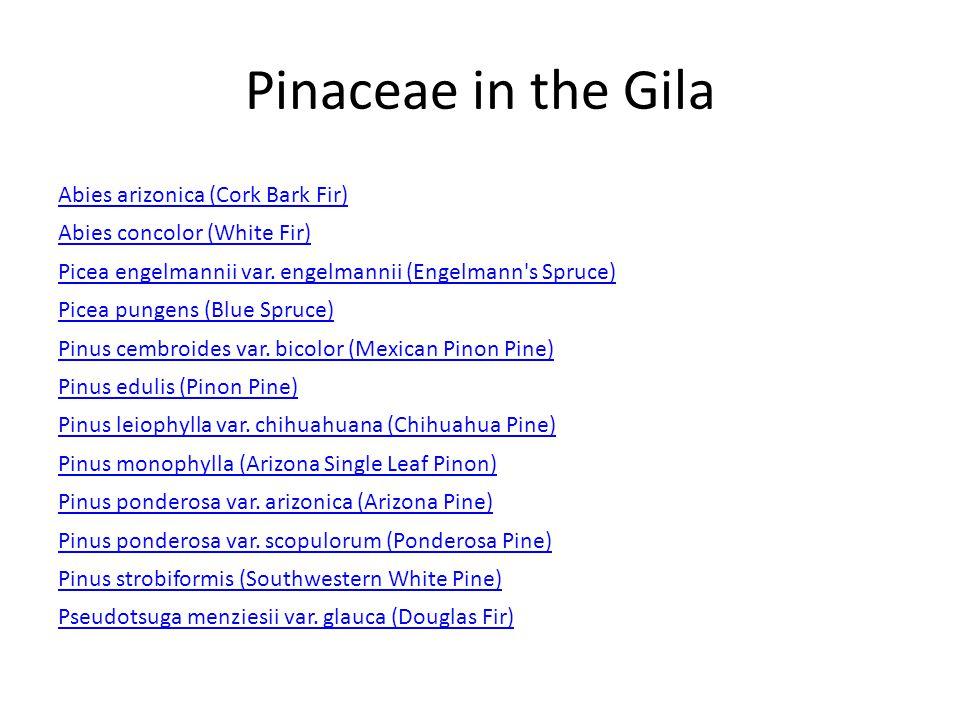Pinaceae in the Gila Abies arizonica (Cork Bark Fir) Abies concolor (White Fir) Picea engelmannii var.