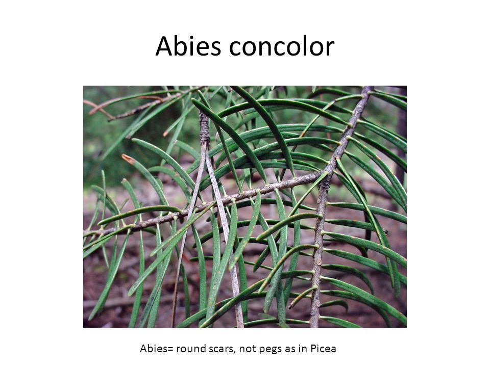 Abies concolor Abies= round scars, not pegs as in Picea