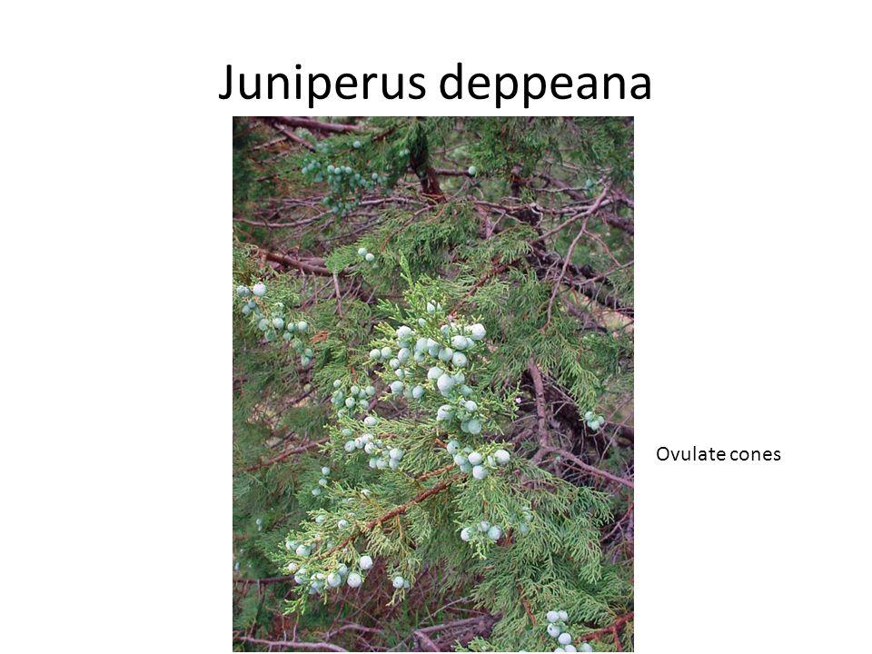 Juniperus deppeana Ovulate cones