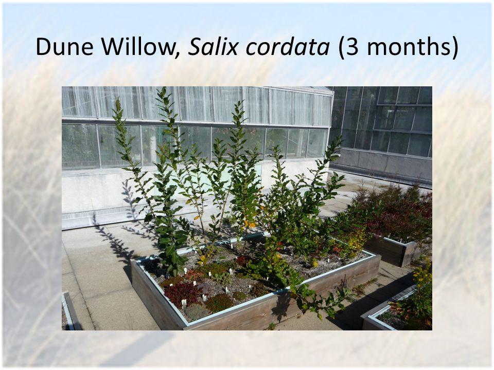 Dune Willow, Salix cordata (3 months)
