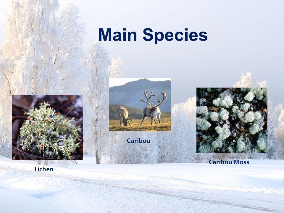 www.soran.edu.iq Main Species Caribou Caribou Moss Lichen
