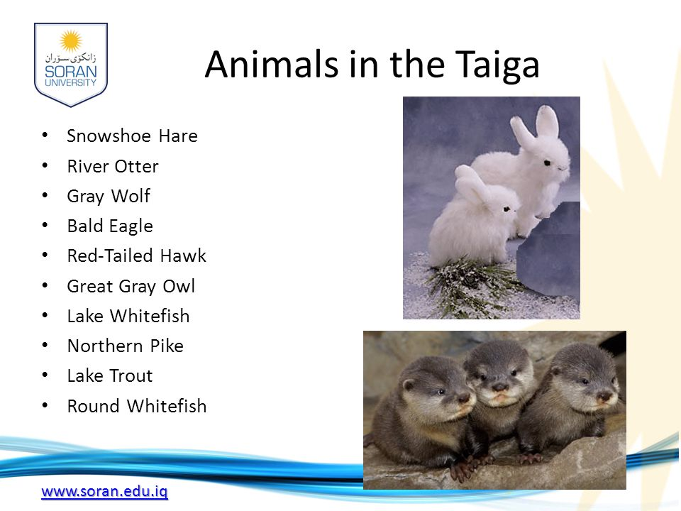 Animals in the Taiga Snowshoe Hare River Otter Gray Wolf Bald Eagle Red-Tailed Hawk Great Gray Owl Lake Whitefish Northern Pike Lake Trout Round Whitefish
