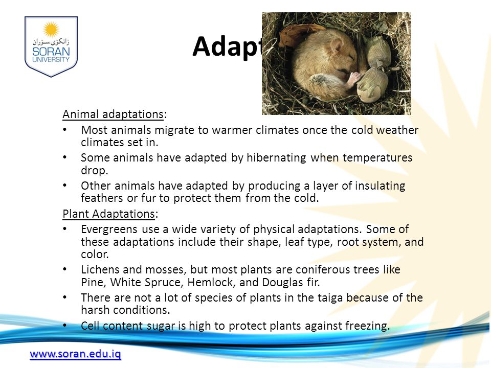 Adaptations Animal adaptations: Most animals migrate to warmer climates once the cold weather climates set in.
