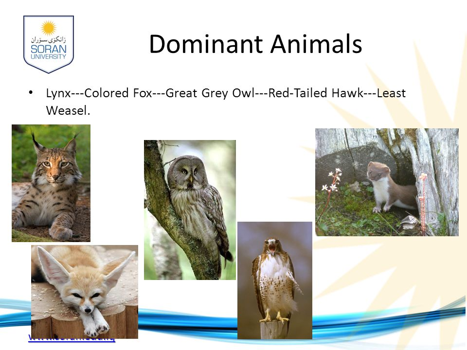 www.soran.edu.iq Dominant Animals Lynx---Colored Fox---Great Grey Owl---Red-Tailed Hawk---Least Weasel.