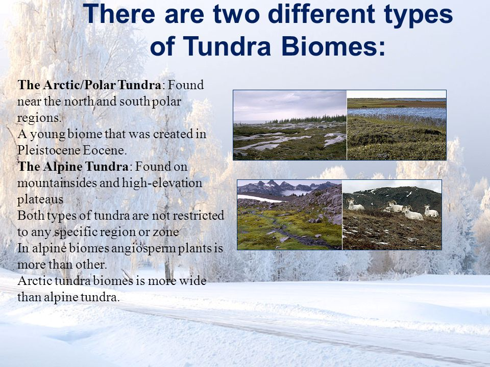www.soran.edu.iq There are two different types of Tundra Biomes: The Arctic/Polar Tundra: Found near the north and south polar regions. A young biome