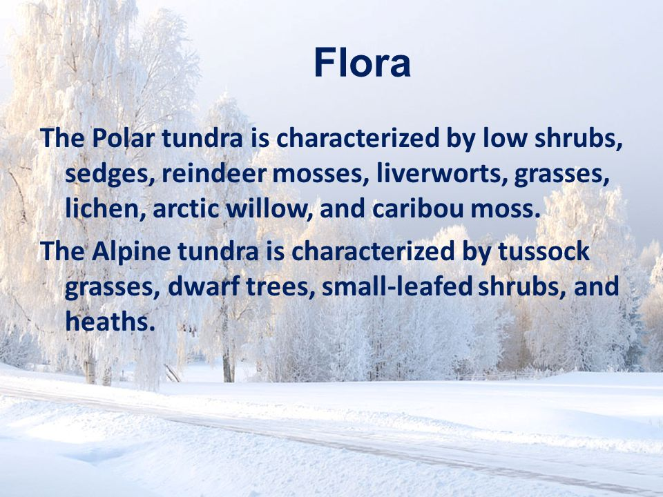 www.soran.edu.iq Flora The Polar tundra is characterized by low shrubs, sedges, reindeer mosses, liverworts, grasses, lichen, arctic willow, and caribou moss.