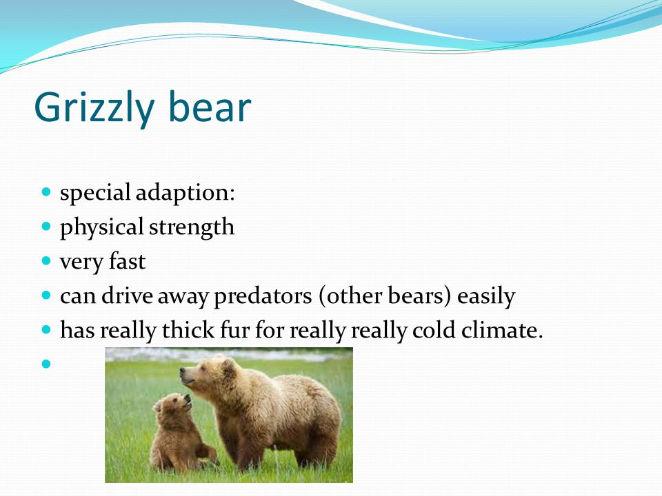 Grizzly bear special adaption: physical strength very fast can drive away predators (other bears) easily has really thick fur for really really cold climate.