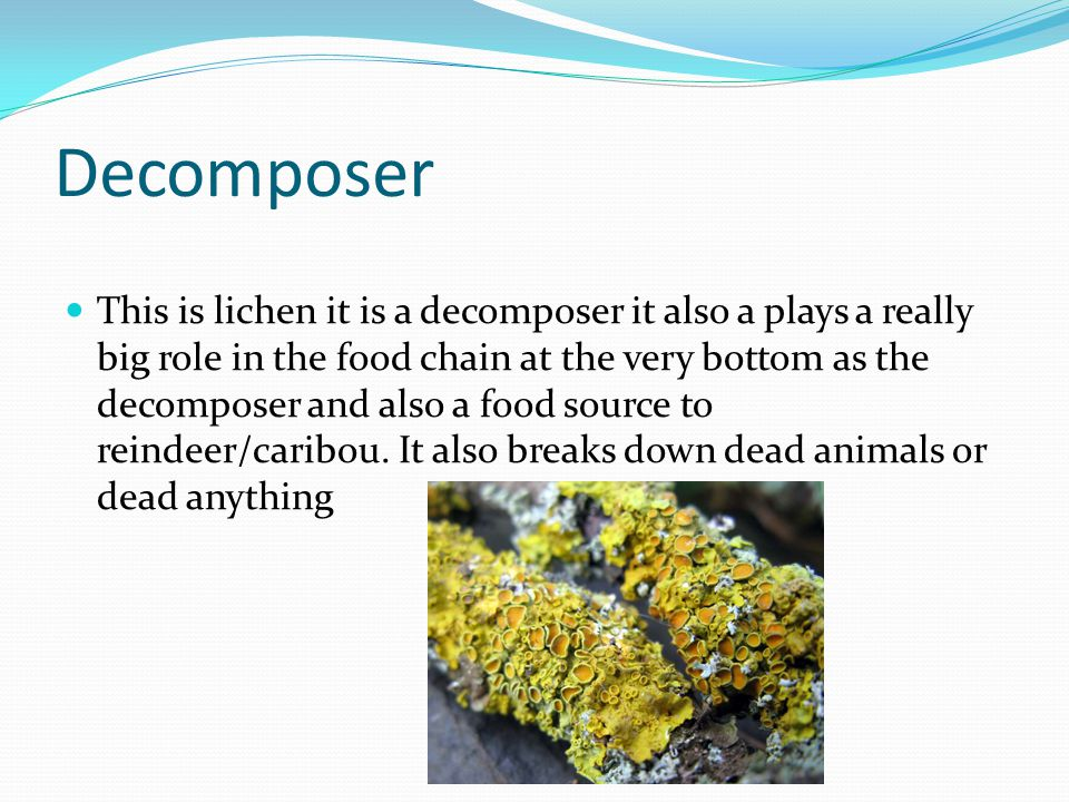 Decomposer This is lichen it is a decomposer it also a plays a really big role in the food chain at the very bottom as the decomposer and also a food source to reindeer/caribou.