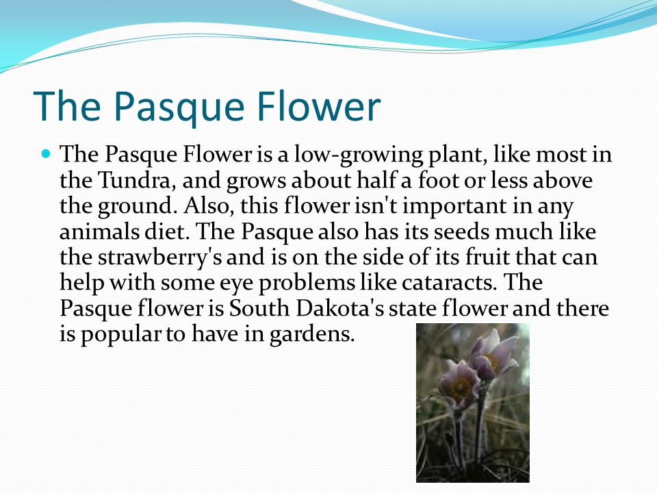 The Pasque Flower The Pasque Flower is a low-growing plant, like most in the Tundra, and grows about half a foot or less above the ground.