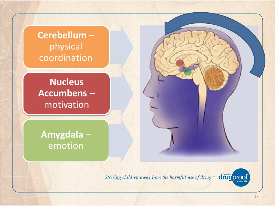 15 Amygdala – emotion Nucleus Accumbens – motivation Cerebellum – physical coordination