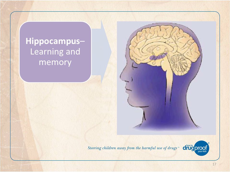 17 Hippocampus– Learning and memory