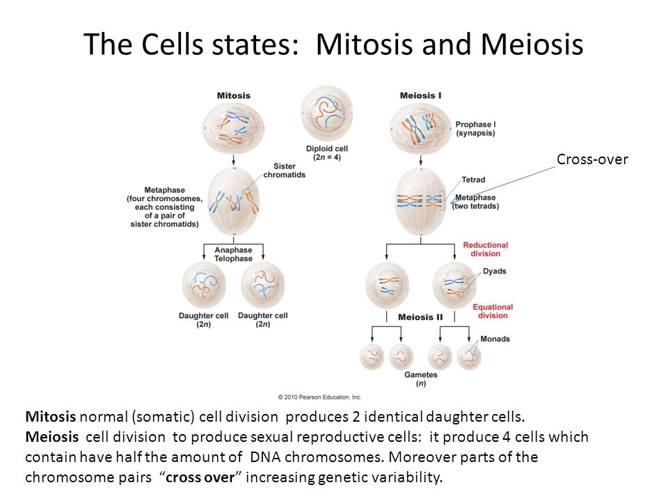 The Cells states: Mitosis and Meiosis Mitosis normal (somatic) cell division produces 2 identical daughter cells.