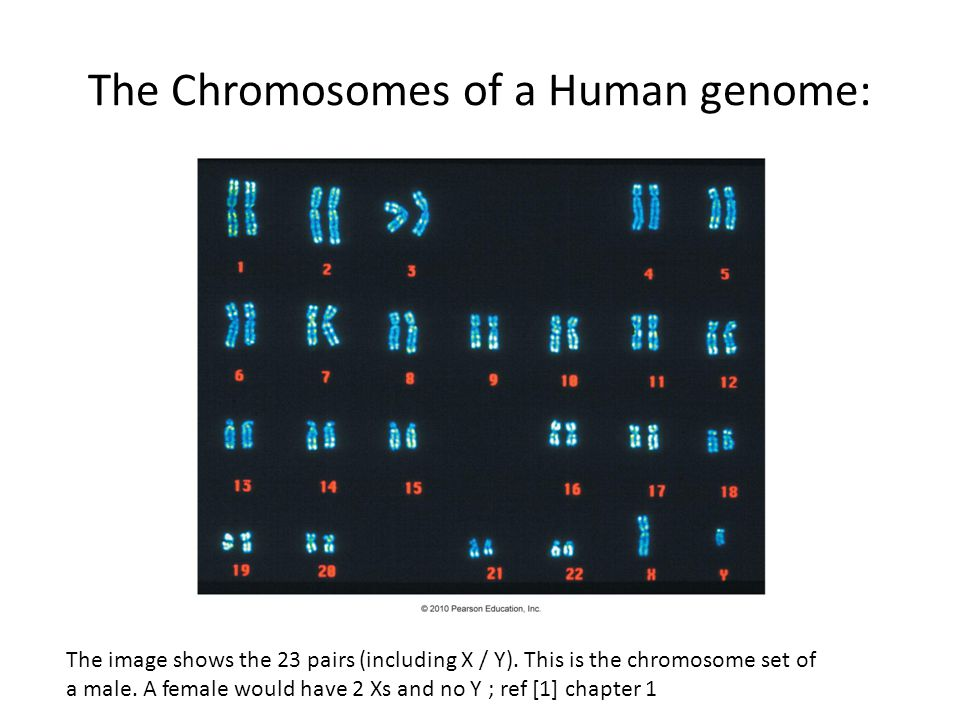 The Chromosomes of a Human genome: The image shows the 23 pairs (including X / Y).
