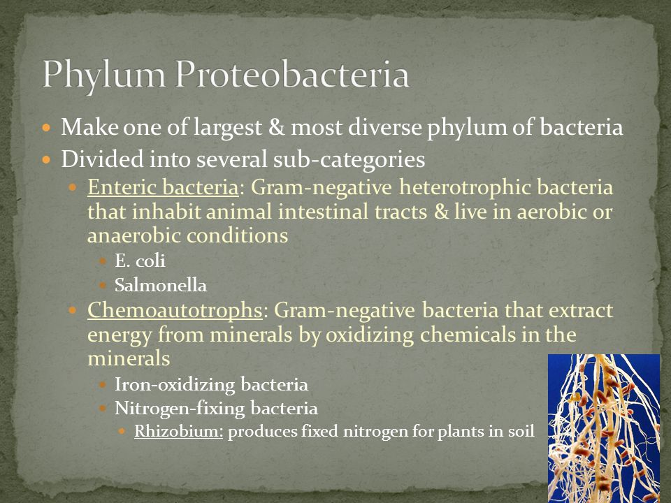 Make one of largest & most diverse phylum of bacteria Divided into several sub-categories Enteric bacteria: Gram-negative heterotrophic bacteria that
