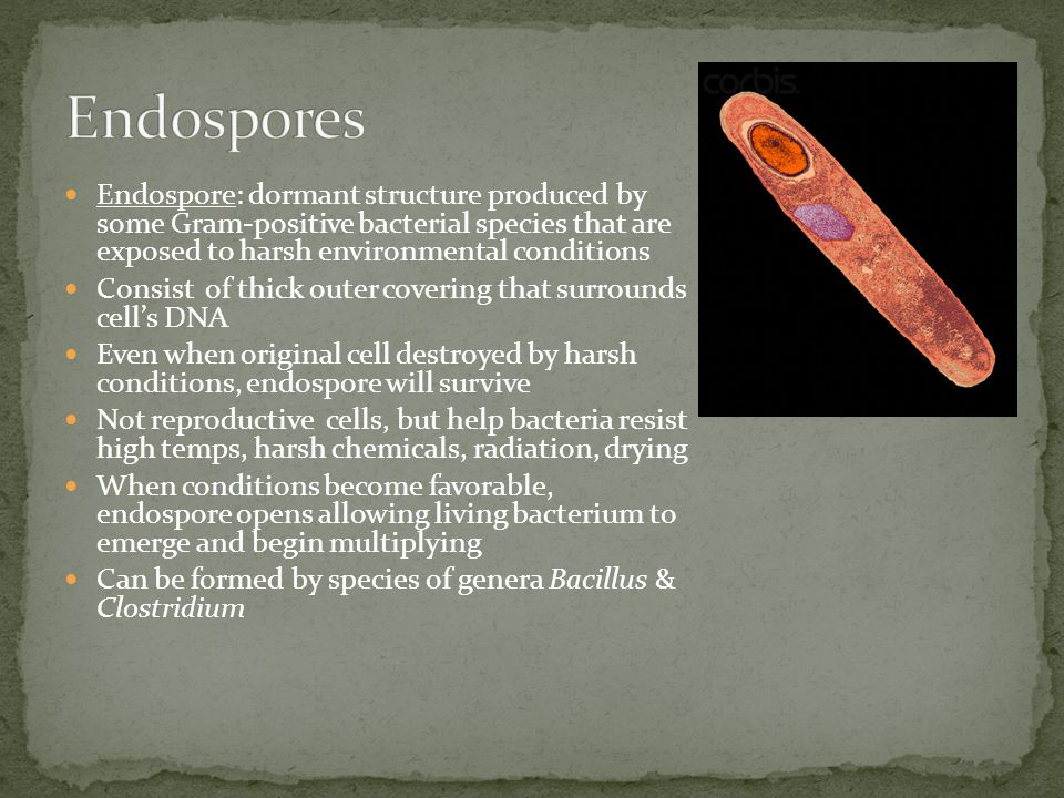Endospore: dormant structure produced by some Gram-positive bacterial species that are exposed to harsh environmental conditions Consist of thick oute