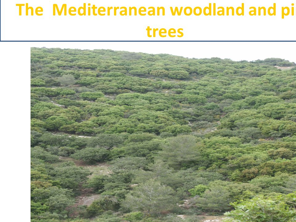 The Mediterranean woodland and pine trees