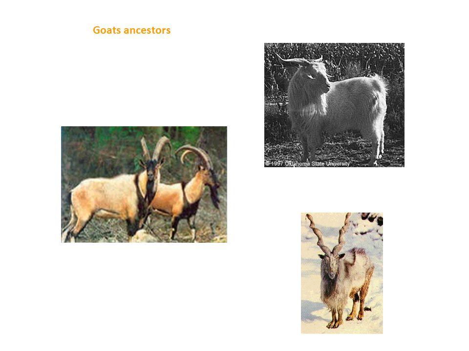 Goats ancestors