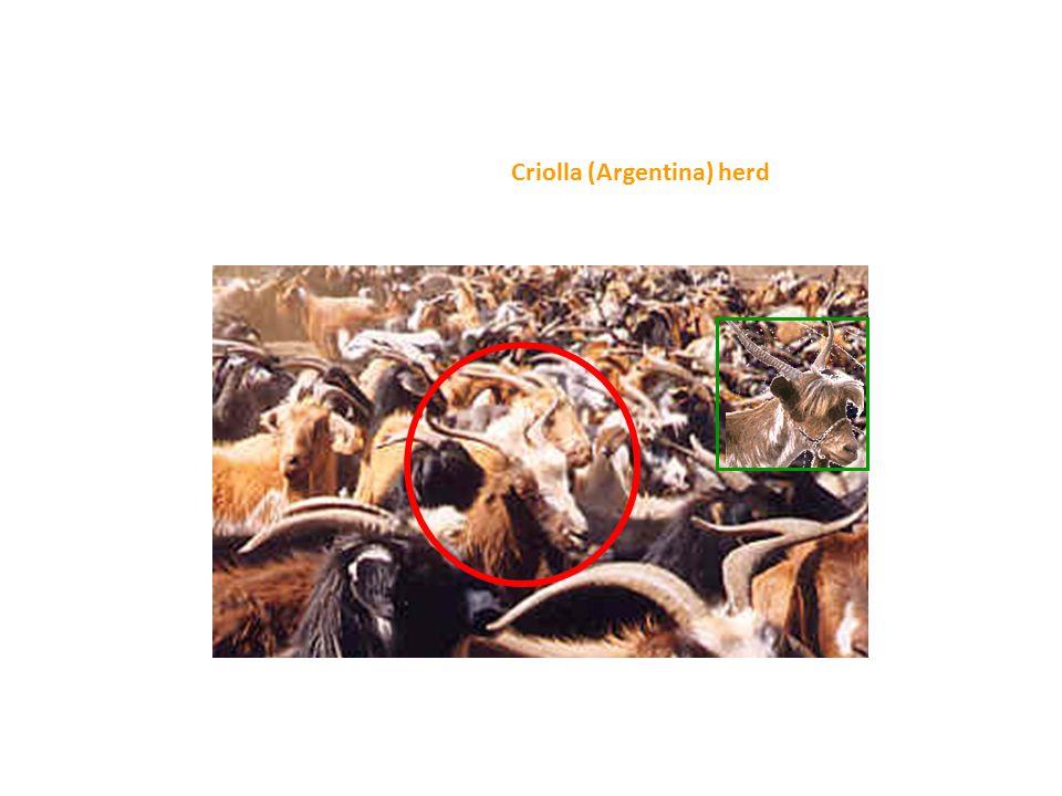 Criolla (Argentina) herd