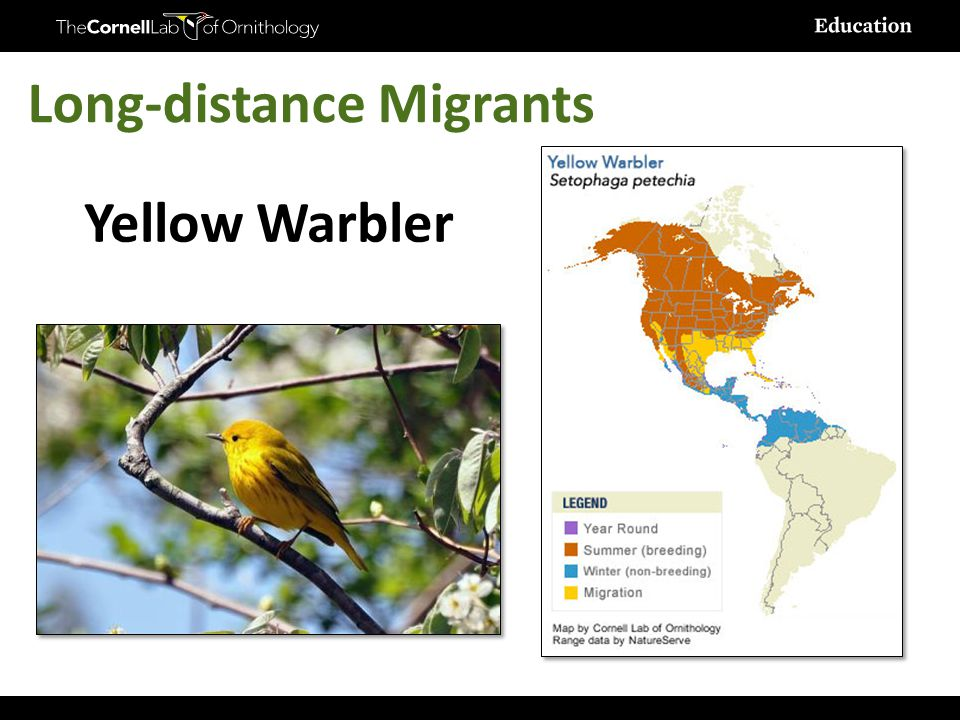 BirdSleuth K-12 Yellow Warbler Long-distance Migrants