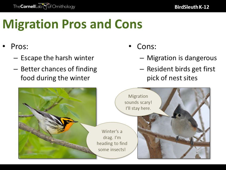 BirdSleuth K-12 Migration Pros and Cons Pros: – Escape the harsh winter – Better chances of finding food during the winter Cons: – Migration is dangerous – Resident birds get first pick of nest sites Winter's a drag.