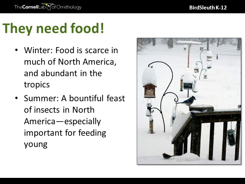 BirdSleuth K-12 They need food! Winter: Food is scarce in much of North America, and abundant in the tropics Summer: A bountiful feast of insects in N