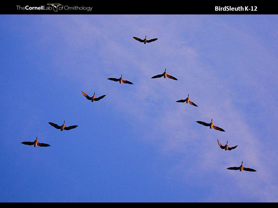 BirdSleuth K-12